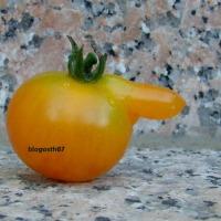 Le sexe de la tomate ?