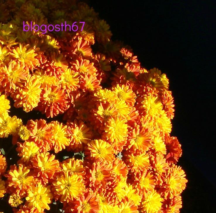 Chrysanthema_Lahr_2013