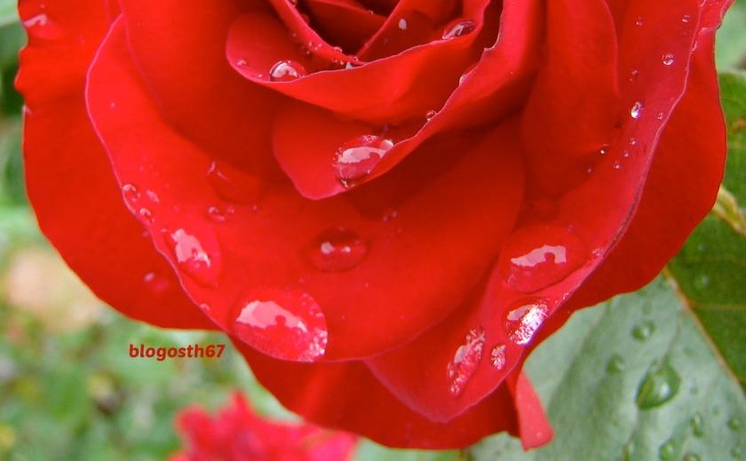 rose_pluie_nargue