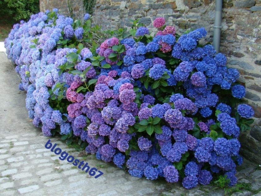 Hortensias_Bretagne_Bleus