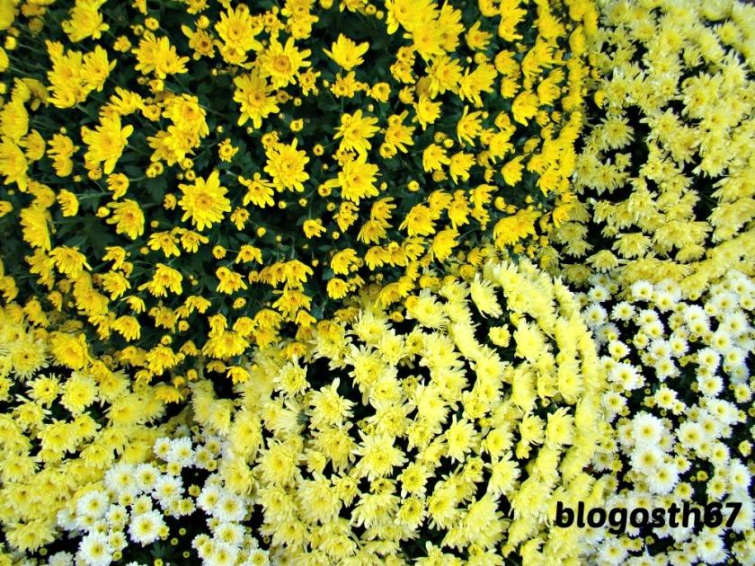 Chrysanthema_Lahr_2014_Jaune