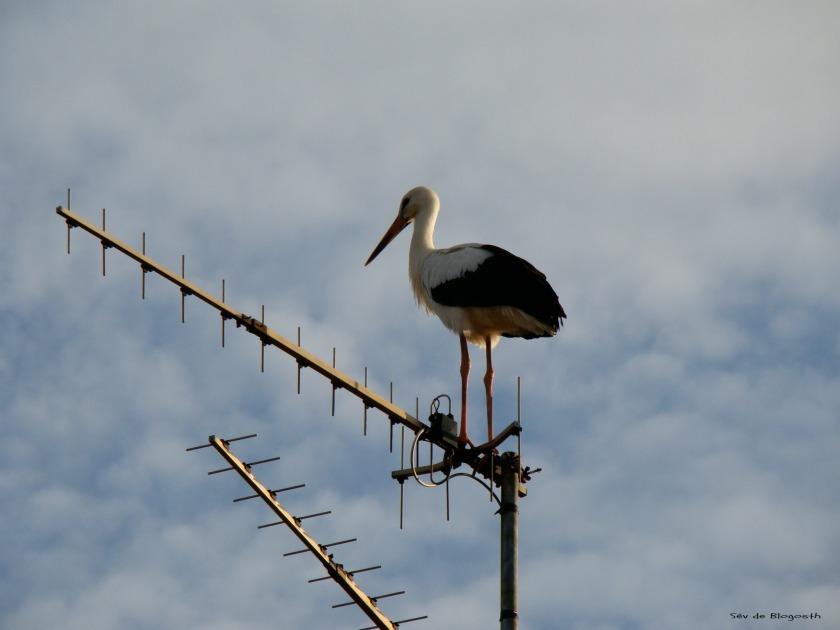 Cigogne Antenne