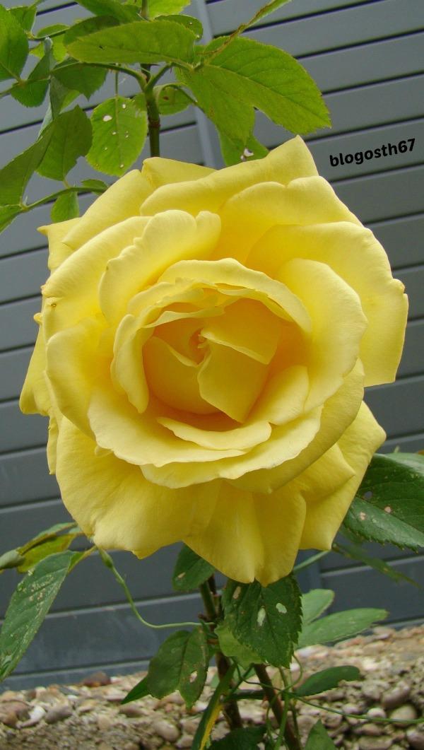 Rose_Jaune