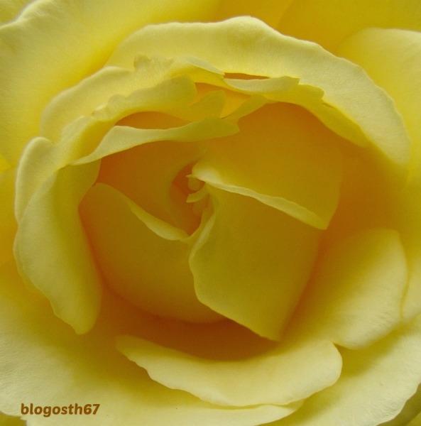 Rose_Jaune_Detail